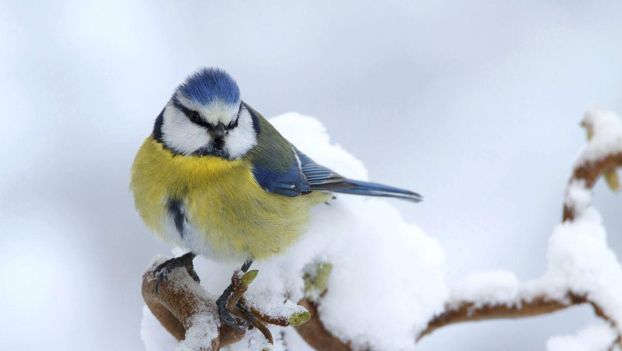 Gartenvögel in Deutschland: Krankheit verkleinert Blaumeisen-Population