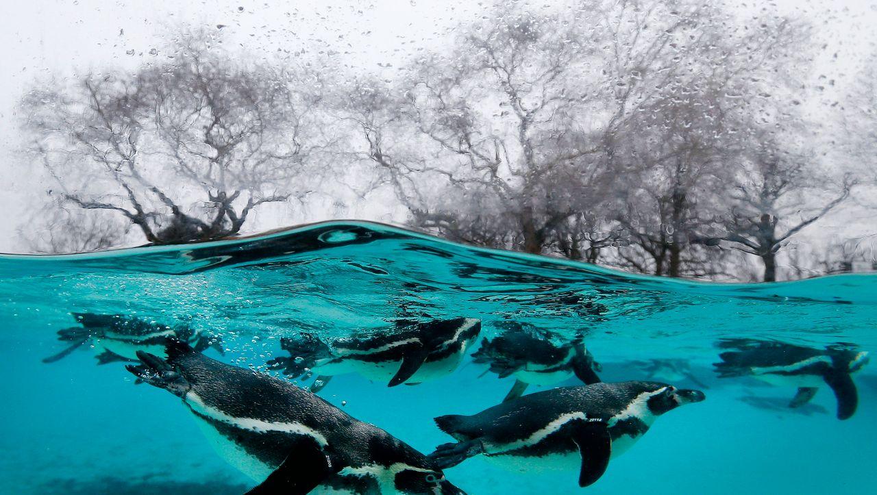 Großbritannien: Mann muss nach Diebstahl von Pinguinen fast drei Jahre in Haft