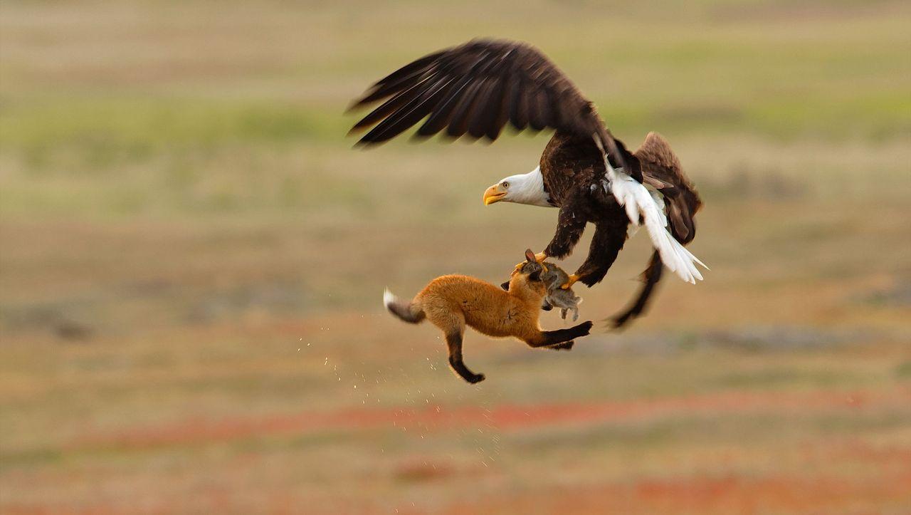 Audubon Photography Awards 2019: Streit der Giganten