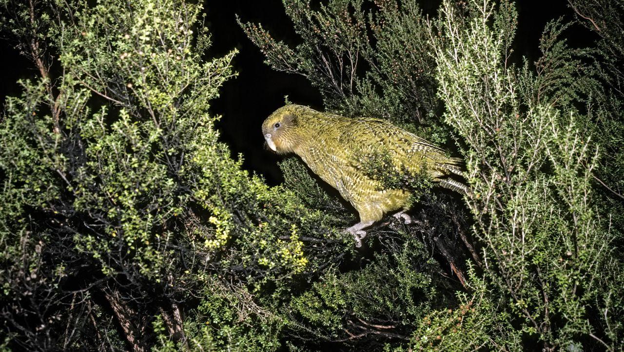 Neuseeland: Pilz bedroht dickste Papageien der Welt