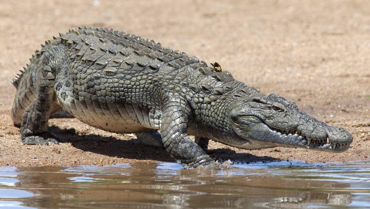 Südafrika: Behörden nach Massenausbruch von Krokodilen besorgt